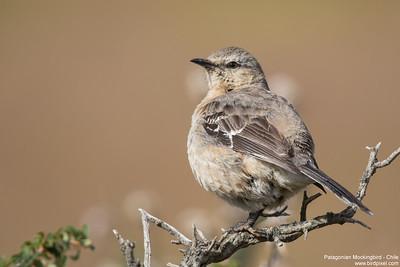 Patagonian Mockingbird - Chile