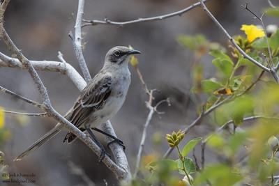 San Cristobal Mockingbird - Galapagos, Ecuador