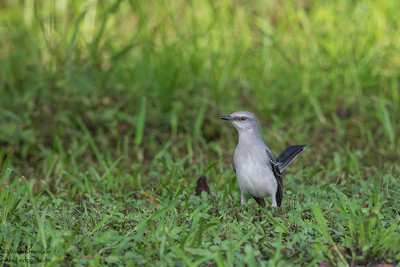 Tropical Mockingbird - Crooked Tree, Belize