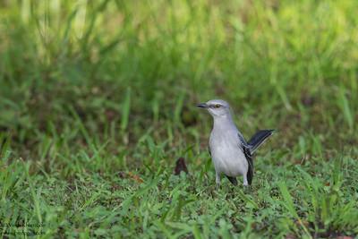 Tropical Mockingbird - Crooked Tree, Belize
