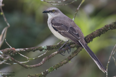 Tropical Mocikingbird  - Gamboa Rainforest Resort, Gamboa, Panama