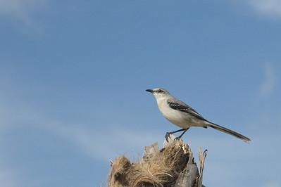 Tropical Mockingbird -  Record - Cancun - Quintana Roo, Mexico