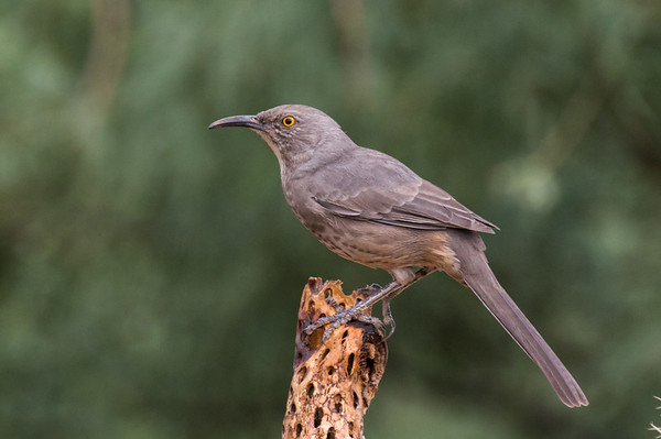 Mockingbirds, Thrashers, Starlings, Mynas