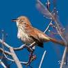 brown thrasher: Toxostoma rufum, Constance Bay