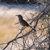 Gray Thrasher - Los Cabos, Mexico