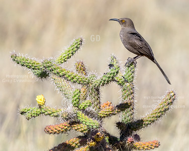Curved-billed Thrasher