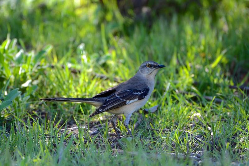 Northern Mockingbird (Mimus polyglottos )