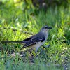 Northern Mockingbird (Mimus polyglottos )