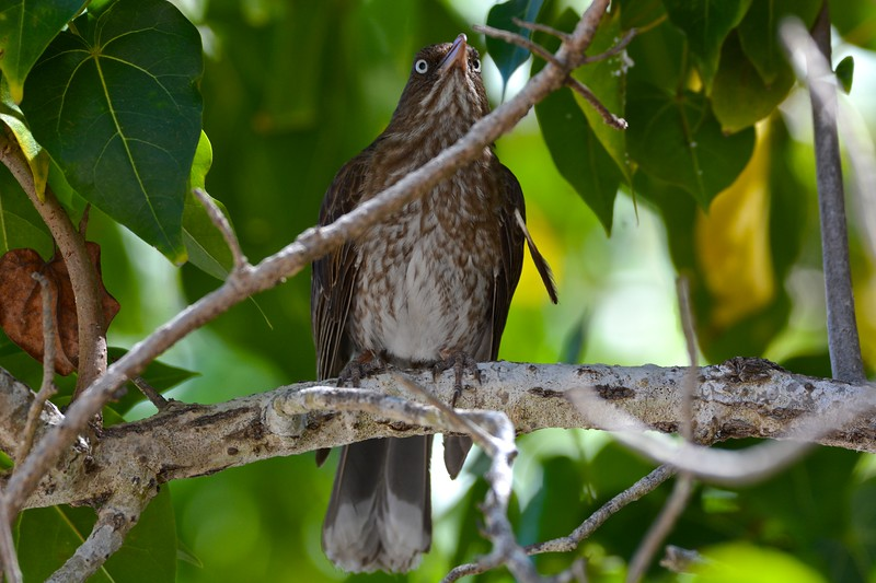 Pearly-eyed Thrasher (Margarops fuscatus)