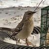 Northern Mockingbird <br /> Bridgeton, MO