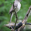 Northern Mockingbird and European Starling <br /> Bridgeton, MO