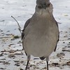 Northern Mockingbird <br /> Bridgeton, MO <br /> 2004-02-01<br /> <br /> No. 4 on my Lifetime List of Bird Species <br /> Photographed in Missouri