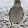 Northern Mockingbird <br /> Bridgeton, MO <br /> 2004-02-01<br /> <br /> No. 4 on my Lifetime List of Bird Species <br /> Photographed in Missouri