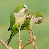 monk parakeet תוכי נזירי