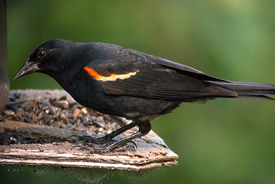 BJHoyRedWingBlackbird2104