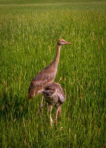 Montana Sandhill Crane