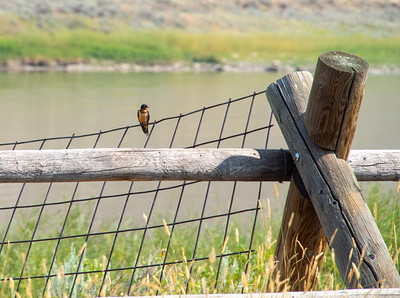 Upper Missouri River Breaks Canoe Trip-Barn Swallow