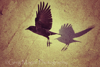 Crow and shadow