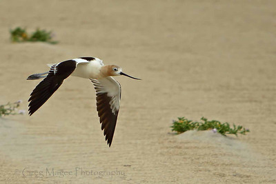 American Avocet over sand