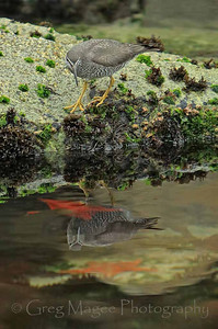 Wandering Tattler and two sea stars