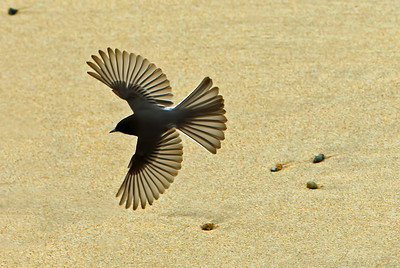 Black phoebe over San Carlos Beach