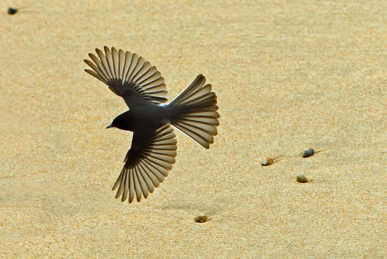 Black phoebe over San Carlos Beach