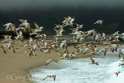 Terns and surf