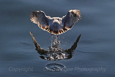 Gull lifting off