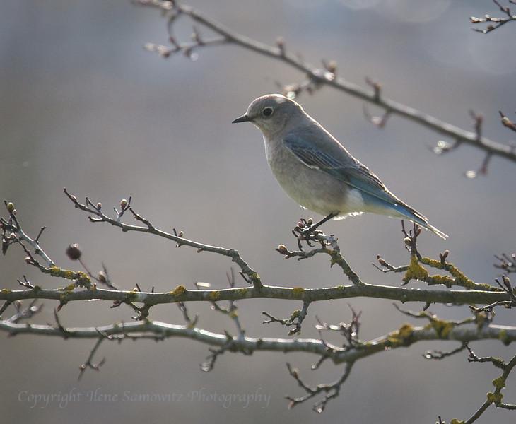 Mountain Bluebird - Female<br /> Montlake Fill, Seattle