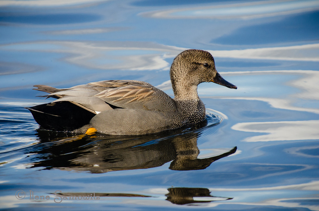 Gadwall<br /> Union Bay Natural Area, Seattle