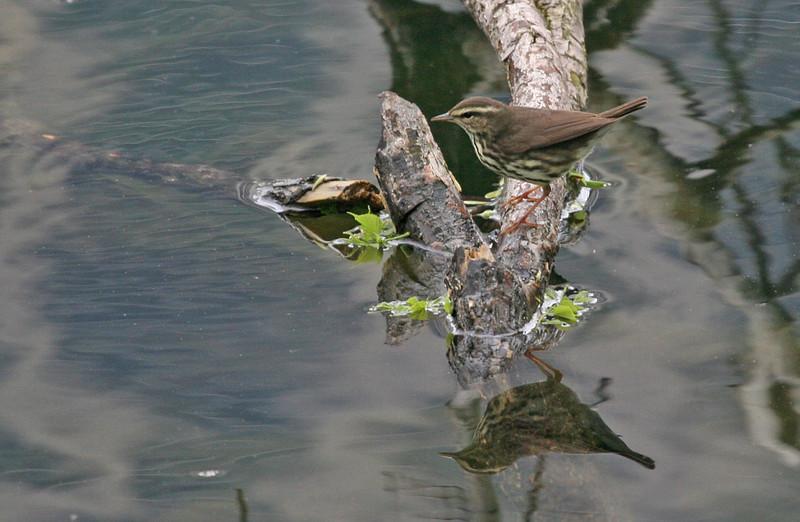 Louisiana Waterthrush - North Pond