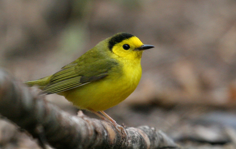 Hooded Warbler - Montrose Point: Partially hooded Hooded Warbler at Magic Hedge.