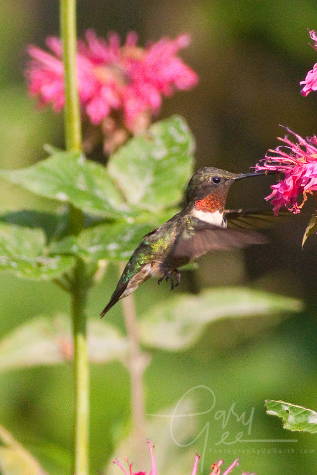 Ruby-Throated Hummingbird checking out Bee Balm
