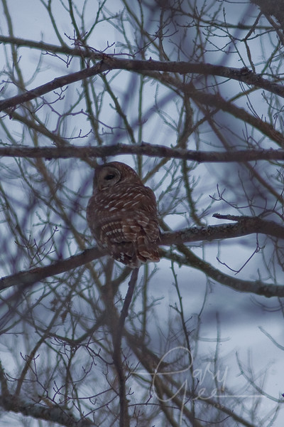 Barred Owl in the Pigeon River Forest