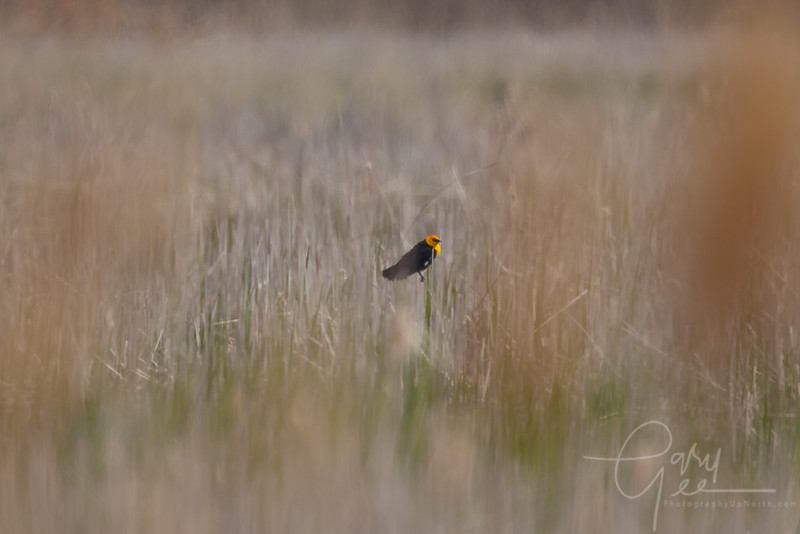 Yellow Headed Blackbird - Saginaw Bay