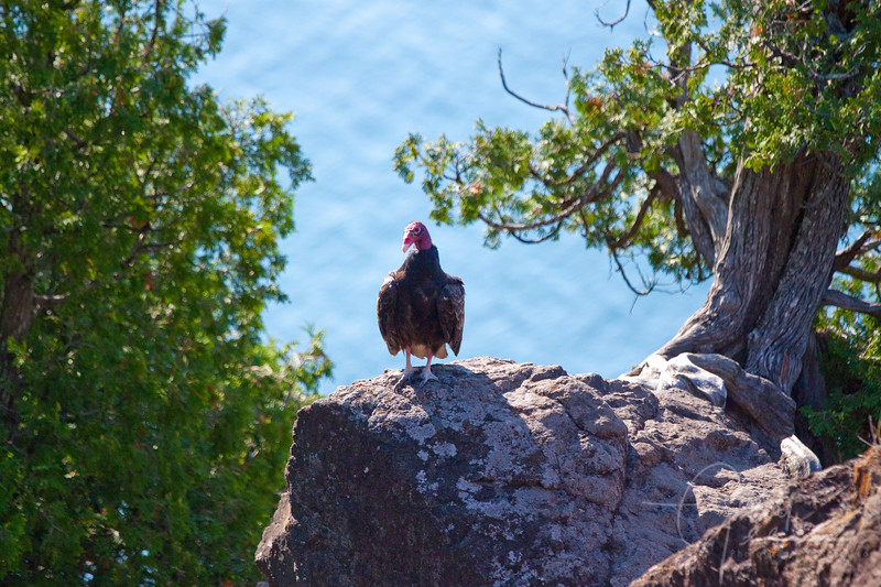 Turkey Vulture on rock high over Lake Superior