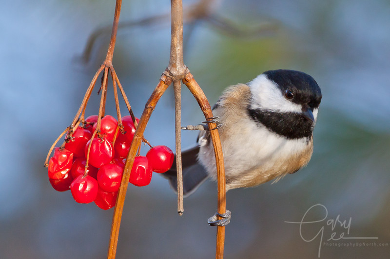 Chickadee and red berries