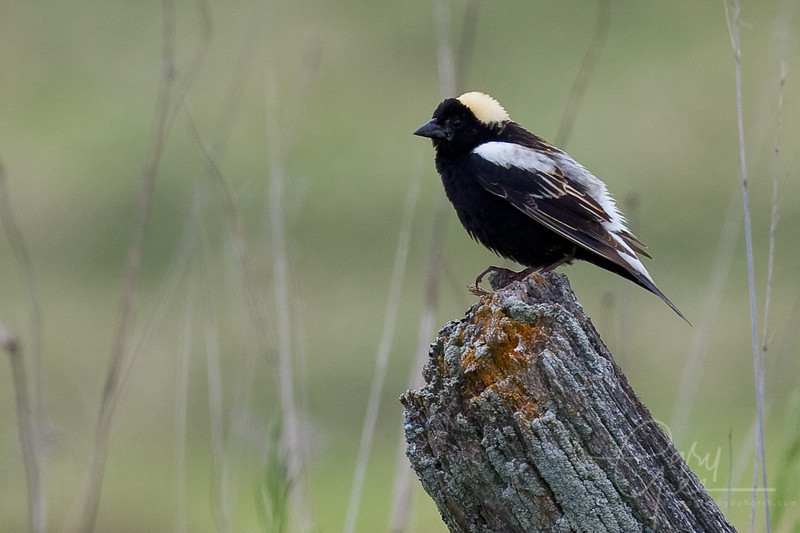 Bobolink on Fence-Post