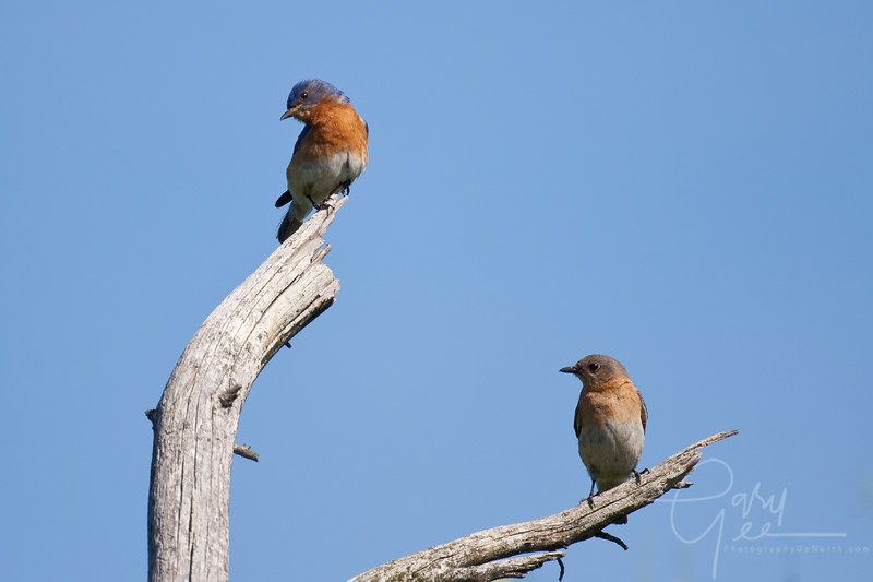 Eastern Bluebird Pair Male and Female