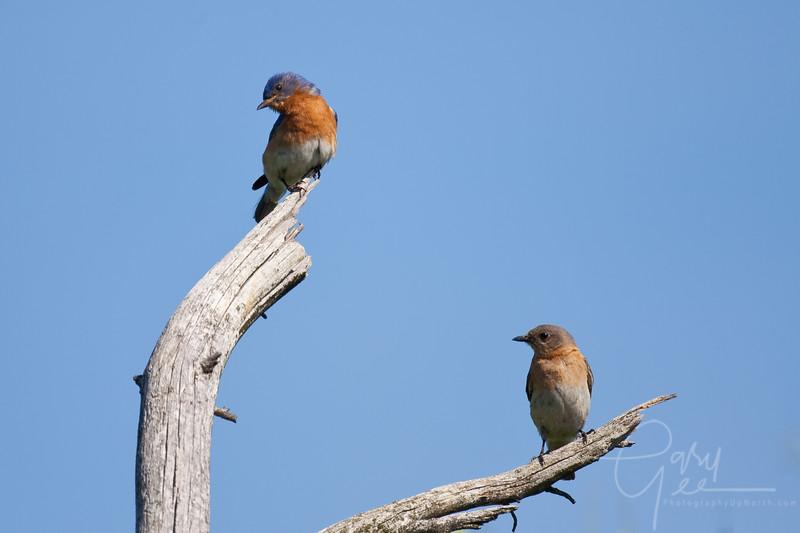 Eastern Bluebird Pair Male and Female