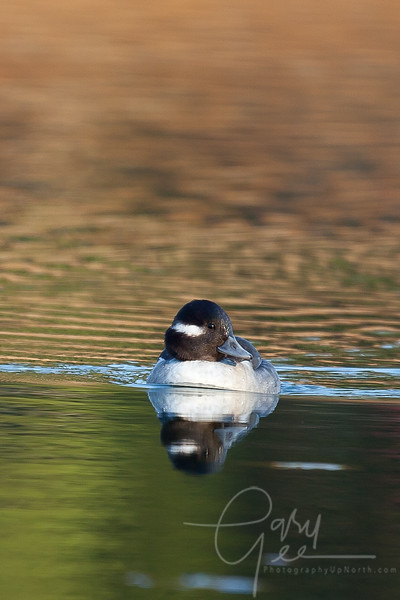 Bufflehead Duck - Female