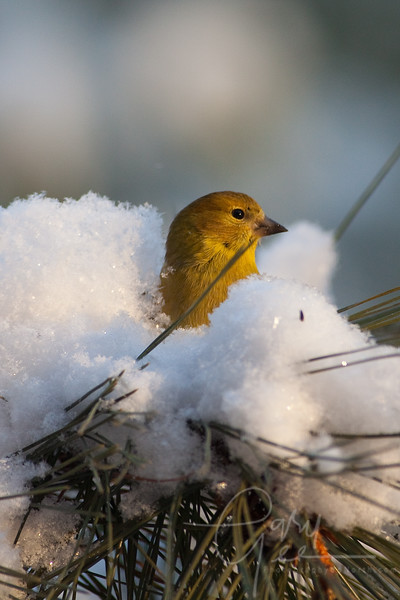 American Goldfinch in snowy pine tree