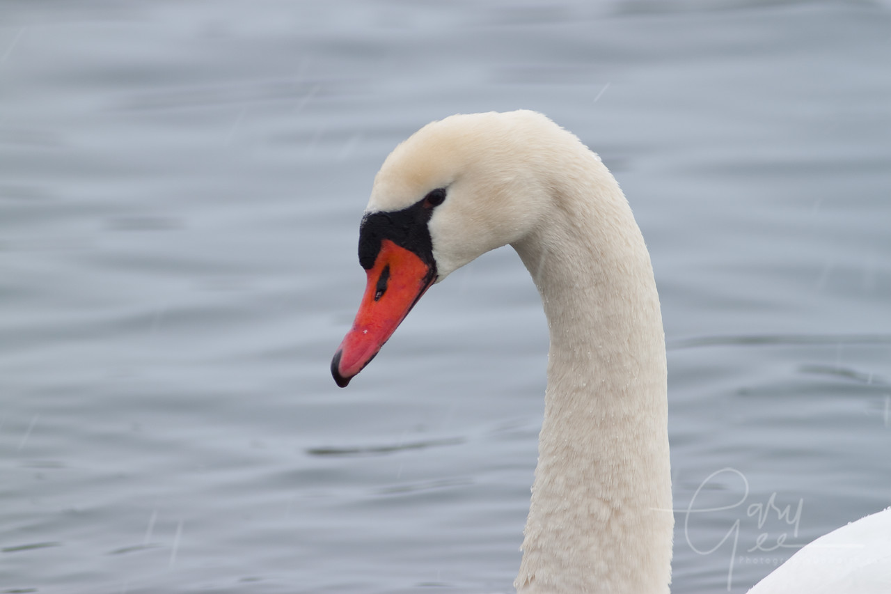 Snowy Mute Swan during a snow squal (snowflake on the bill)