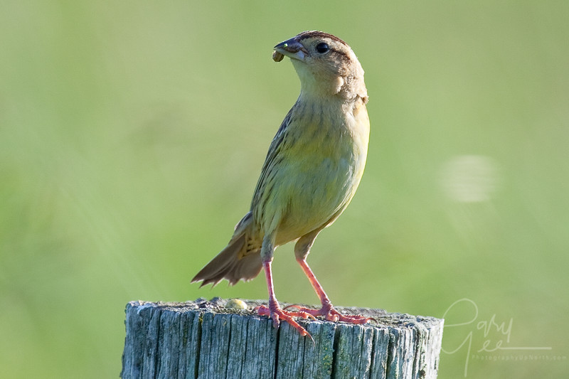 Bobolink Female with worm