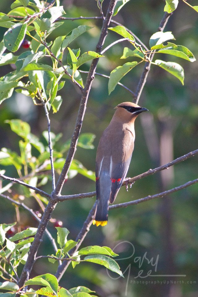 Cedar Waxing in the evening light perched in a fruit tree above a Trout Stream in the U.P.