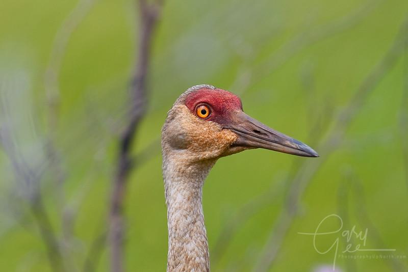 Sandhill Crane in Seney National Wildlife Refuge