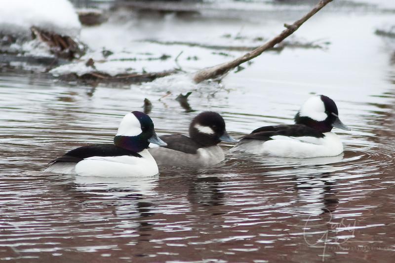 Bufflehead Ducks