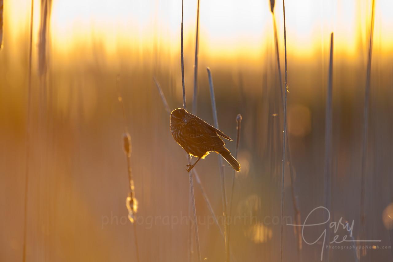 Female Redwing Blackbird as sun settles for the evening