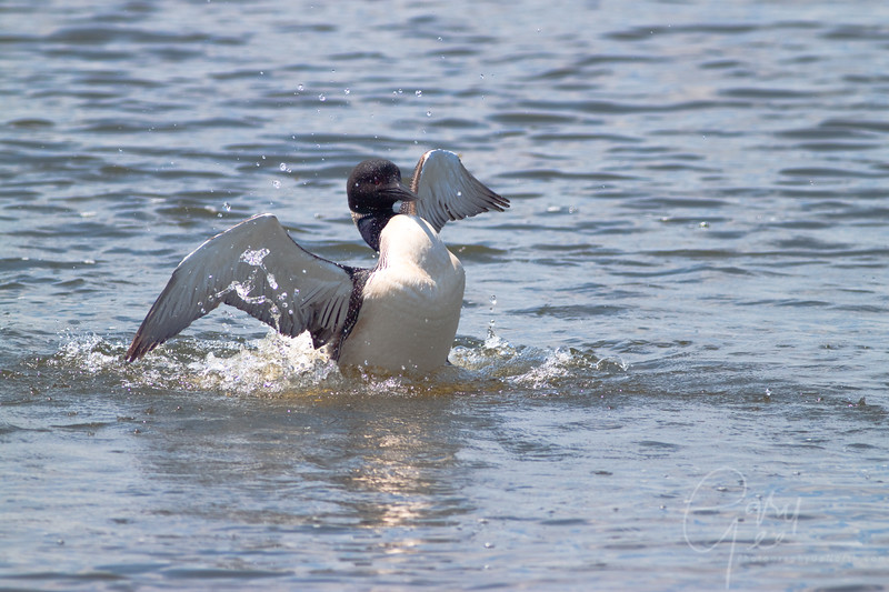 Common Loon rousing