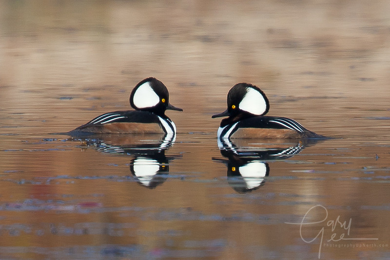 Hooded Merganser reflective pair